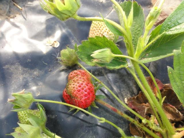Premiéres  fraises  au  jardin. 1_ere_12