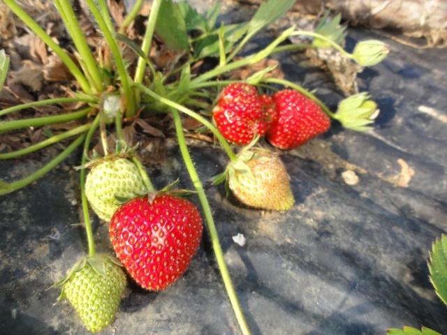 Premiéres  fraises  au  jardin. 1_ere_13