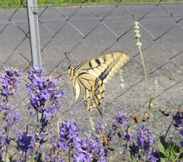 Papillons  un  matin d'été ! 2011-033