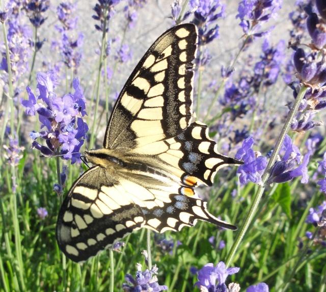 Papillons  un  matin d'été ! 2011-034