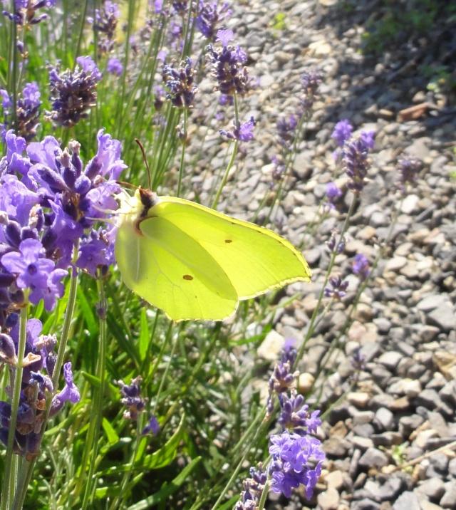 Papillons  un  matin d'été ! 2011-035