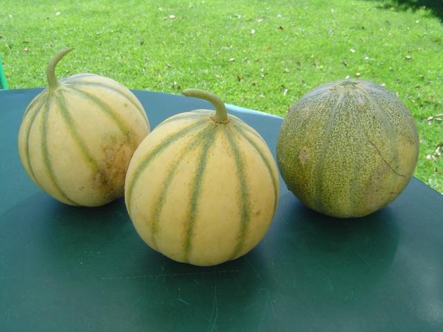 Récolte de melons   Chats_14