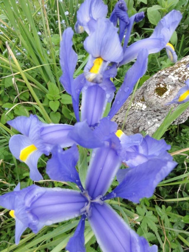 Les  iris . Dsc03511