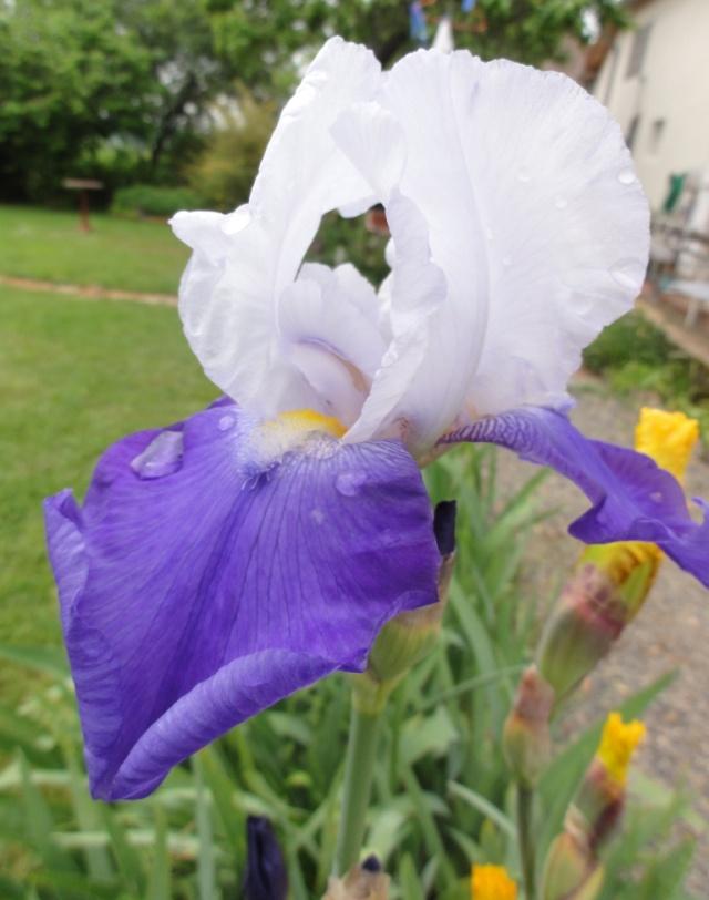 Les  iris . Dsc03616