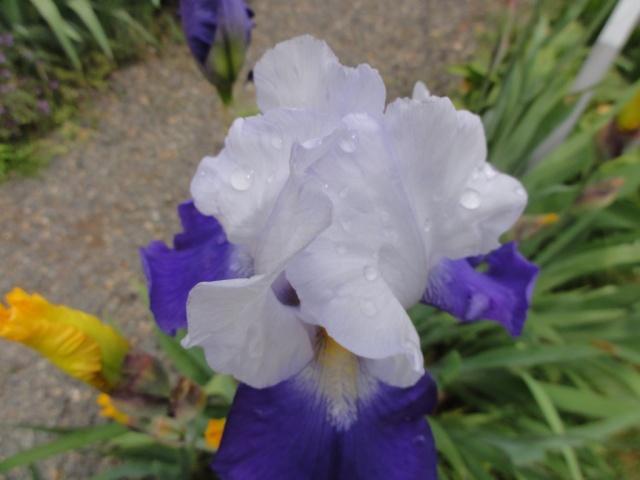 Les  iris . Dsc03620