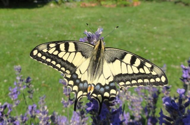 Papillons  un  matin d'été ! Pour_f10