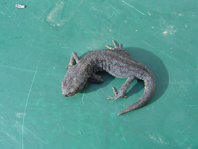 Les salamandres  Salama10