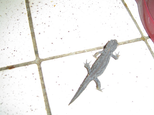 Les salamandres  Salama12