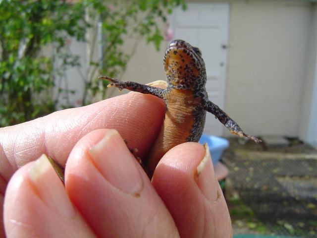 Les salamandres  Salama13