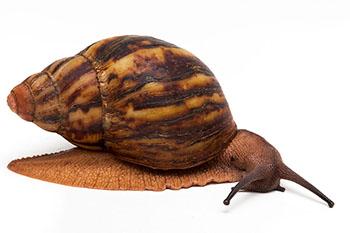 Le Archachatina marginata suturalis  Archac11