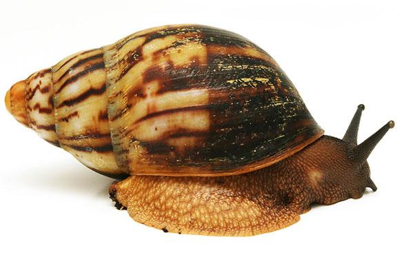 Le Archachatina marginata eduardi Cameroon  Eduard10