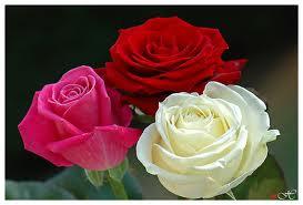 Neuvaine à Sainte Rita du 14 au 22 mai Roses310