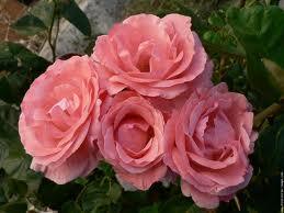 Neuvaine à Sainte Rita du 14 au 22 mai Roses_14