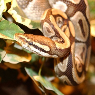 zoologie forum Nac nouveaux animaux de compagnie serpent constricteur reptile python Grande Bretagne Roberta fillette WC salle de bain cuvette avril 2011