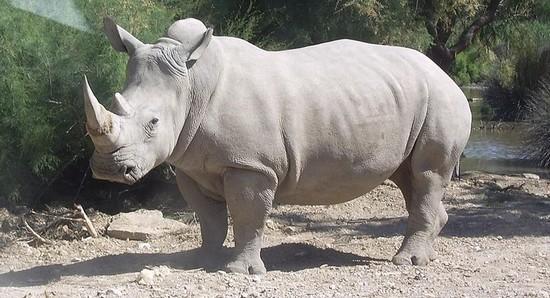 Rhinocéros blanc zoologie Ceratotherium simum johannesburg afrique du sud réseau de braconniers 22 septembre 2010