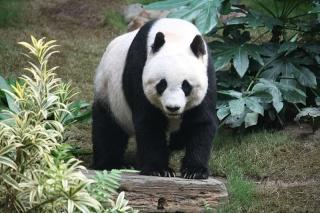 zoologie Ailuropoda melanoleuca réserve de Jiuzhaigou Sichuan Chine forum rhinopithèques Singe à nez retroussé biodiversité protection de l'espèce panda géant