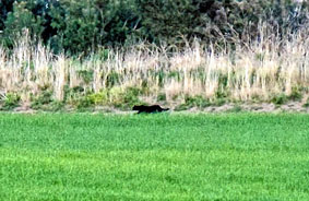 Cryptozoologie zoologie big cat panthère royaume uni écosse Alness Dingwall Dornoch Scotland avril 2011 félin inconnu forum Lisa Sydenham Train Embo