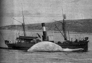 zoologie chasse à la baleine cétacé massacre Norvège avril 2011 forum Japon Islande espèces menacées ouverture de la chasse à la baleine