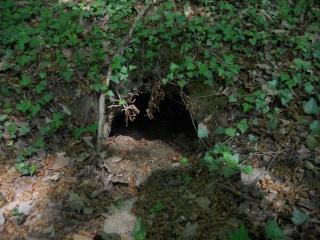 zoologie renard roux blaireau identification d'un terrier Meles meles Vulpes vulpes
