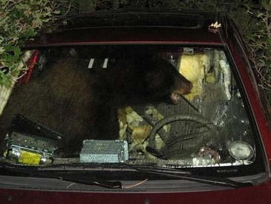 zoologie ours plantigrade vole voiture colorado Ben story Larkspur insolite
