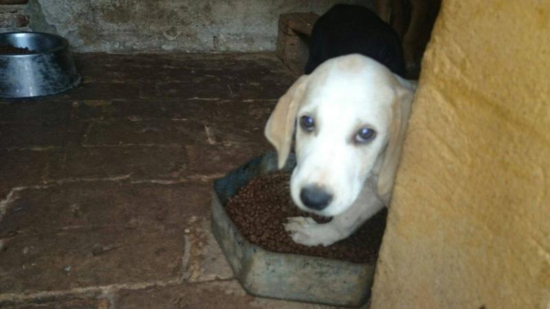 bouba - BOUBA adorable chiot croisé labrador - S - en FA dans le 77 12087810