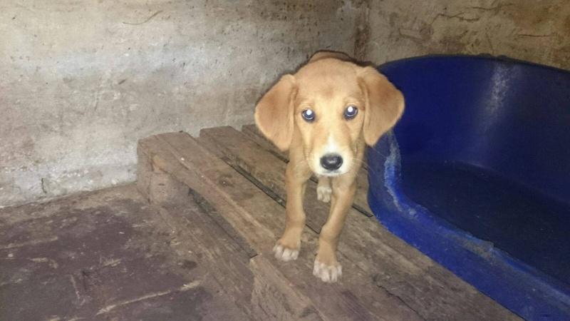 BIMBO adorable chiot croisé labrador - S - URGENT 12132510