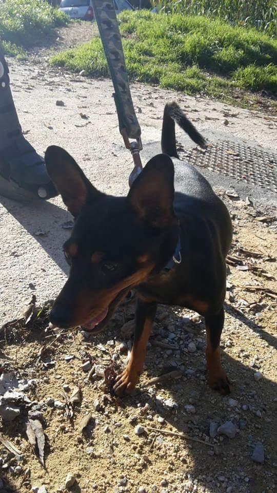 Un pinscher, jeune, mâle, noir, trouvé à Montpellier ! ! ! Fb_img10
