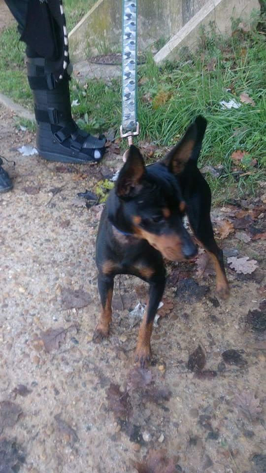 Un pinscher, jeune, mâle, noir, trouvé à Montpellier ! ! ! Receiv11