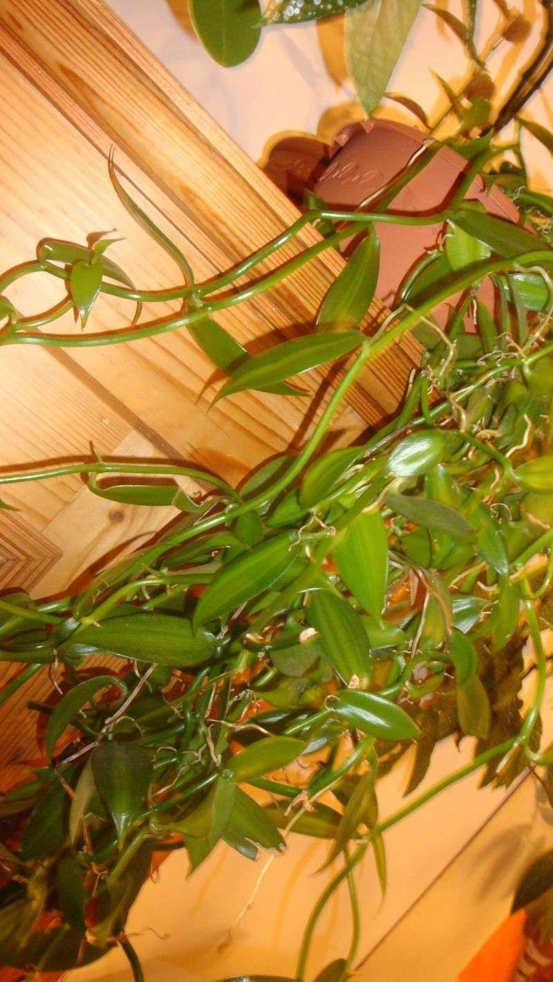 fleurs de vanille en préparation !  00610