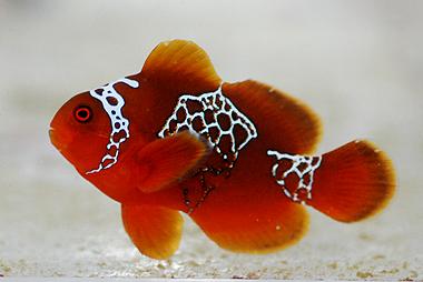 Dégénération des poissons clowns B103_p10