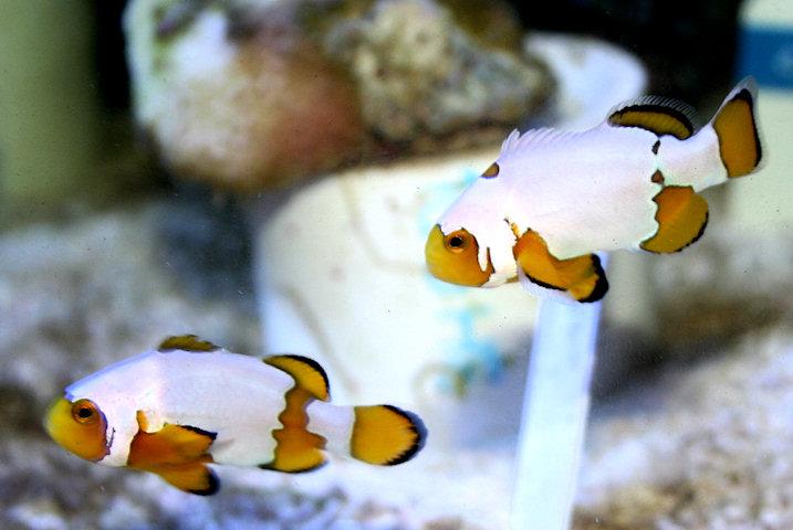 Dégénération des poissons clowns Bedoti10