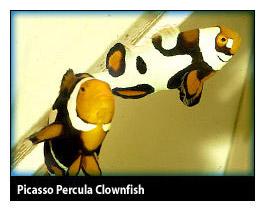 Dégénération des poissons clowns Picass10