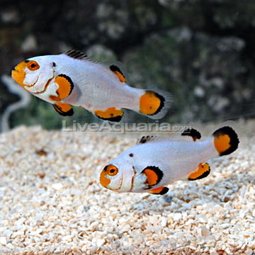 Dégénération des poissons clowns Roudai11