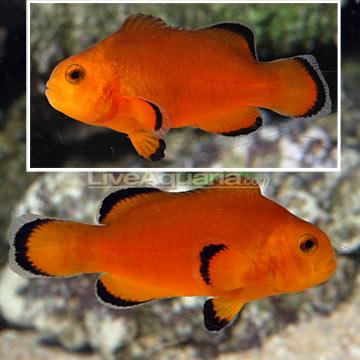 Dégénération des poissons clowns Roudai12