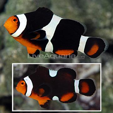 Dégénération des poissons clowns Roudai13