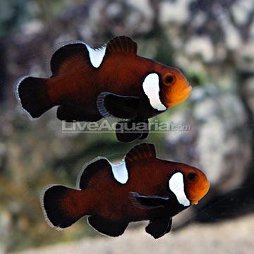 Dégénération des poissons clowns Roudai15