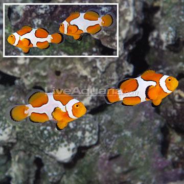 Dégénération des poissons clowns Roudai16