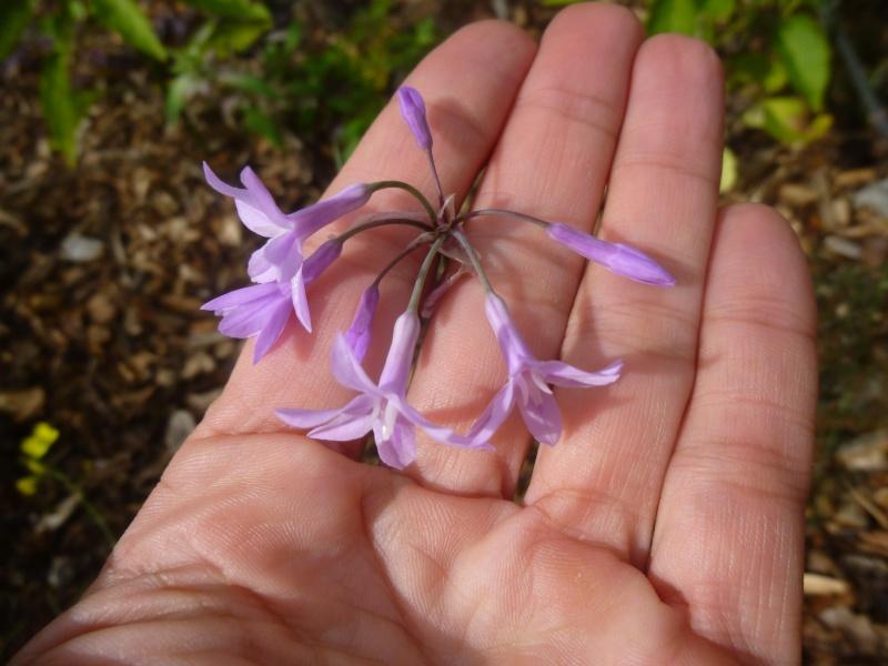 tulbagia violacea  P1090637