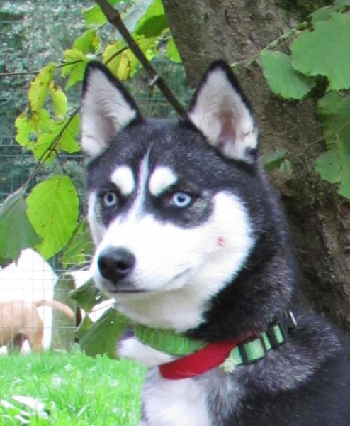 Pearl, Husky femelle, noir/blanc yeux bleus 10 mois REFU78 Img_2310