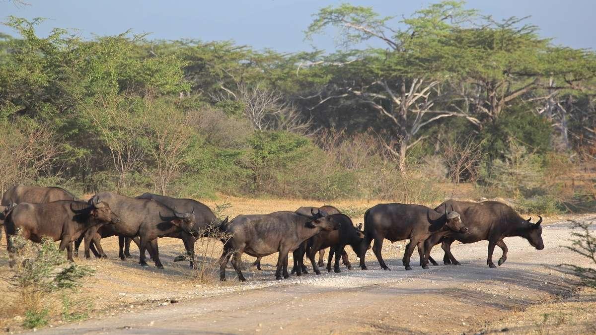 Vols de brousse en Tanzanie .     - Page 5 Img_5911