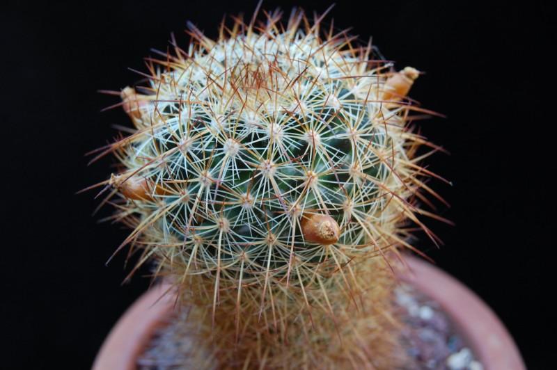 Mammillaria discolor 2738-210