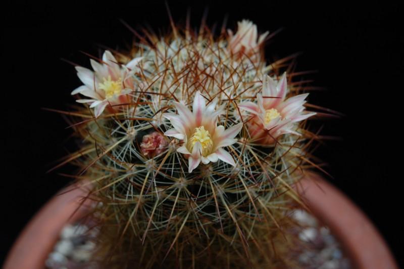 Mammillaria discolor 2738-211