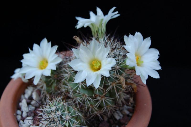 Mammillaria schumannii - white flowers 328-2010