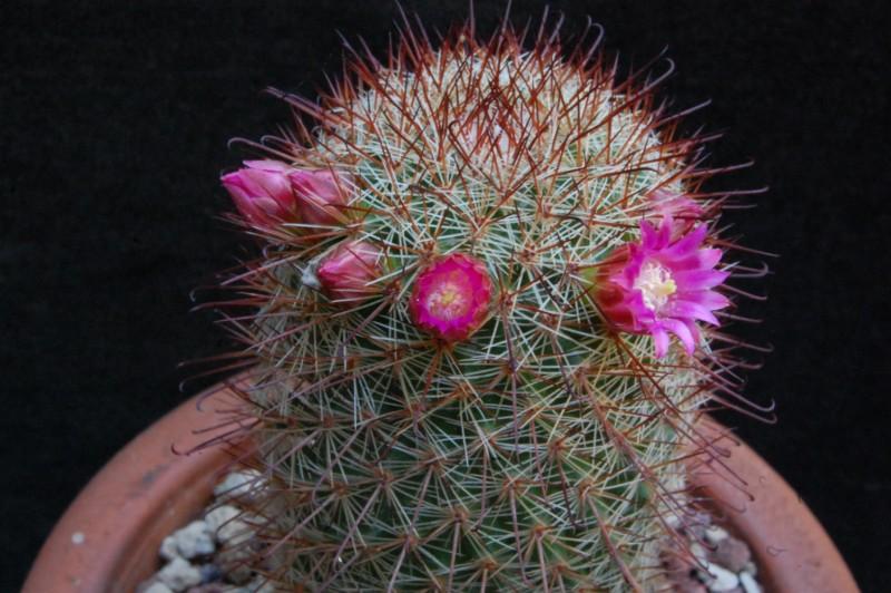 Mammillaria rossiana 3602-211