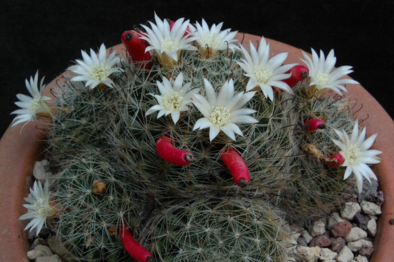 Mammillaria moeller-valdeziana 4077-211