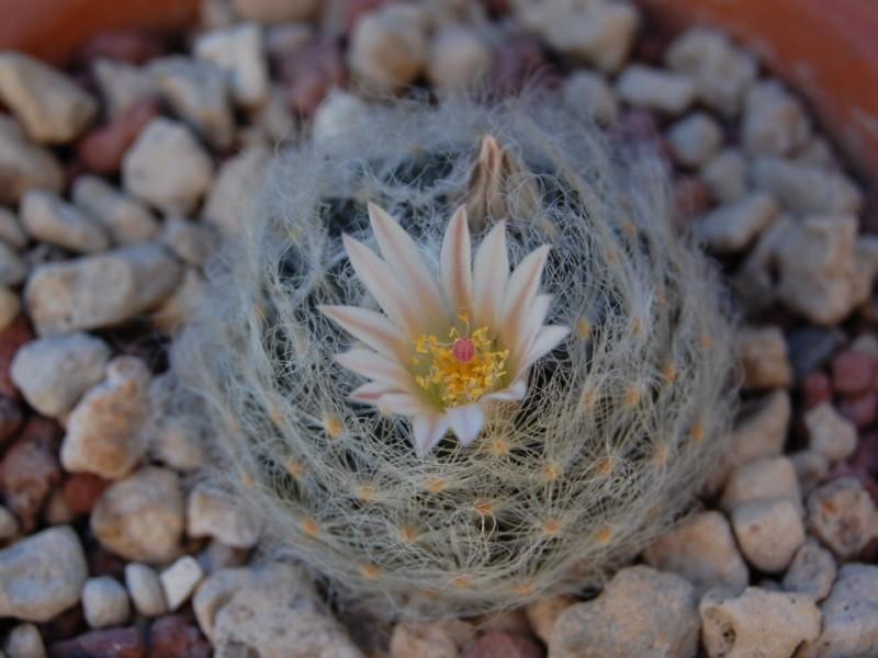 Mammillaria aureilanata      4360-210