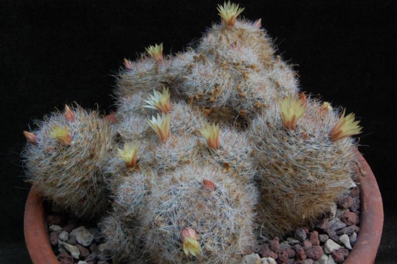 Mammillaria nana 7454-211