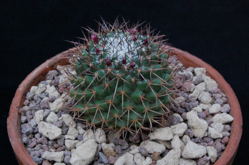 Mammillaria xochipilli 8096-211