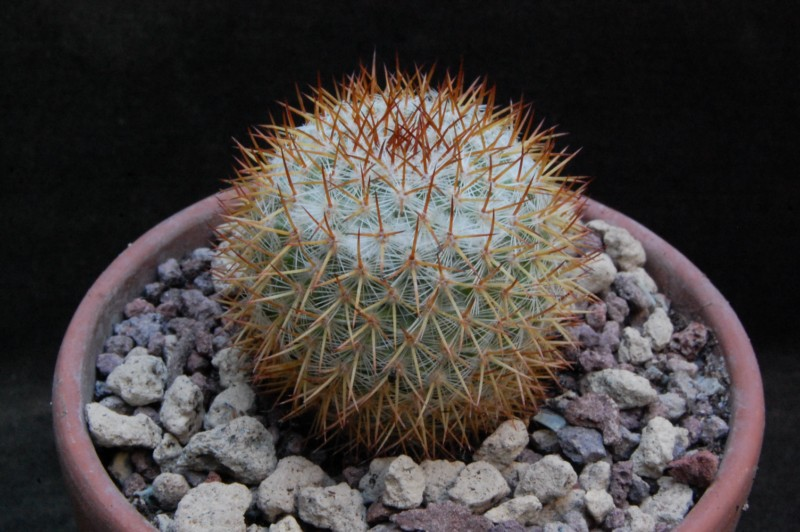 Mammillaria ruestii 8122-210