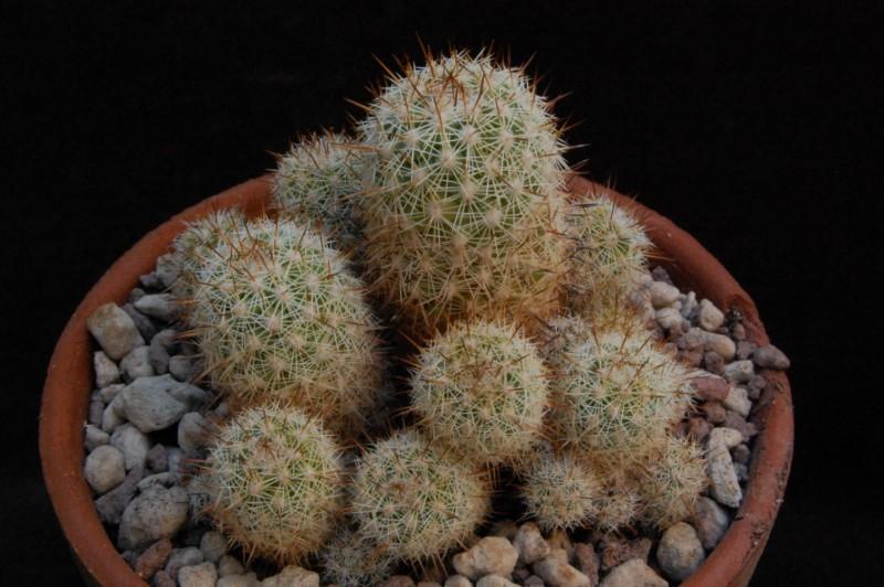 Mammillaria multidigitata 8255-210